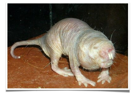 The Mole Rat could hold the key to finally curing cancer